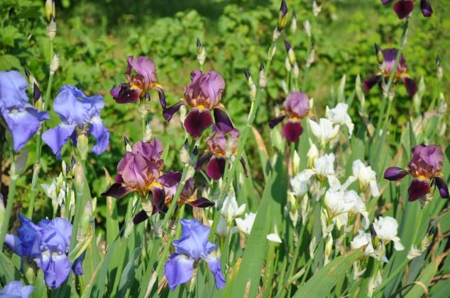 Odile Iris ST JACUT 088